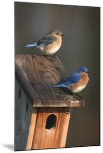 Eastern Bluebird Male and Female on Peterson Nest Box Marion County, Illinois by Richard and Susan Day