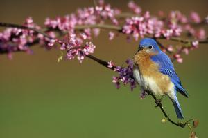 Eastern Bluebird Male in Redbud Tree in Spring Marion County, Illinois by Richard and Susan Day