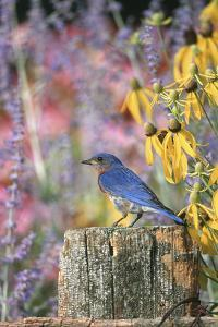 Eastern Bluebird Male on Fence in Flower Garden, Marion, Il by Richard and Susan Day