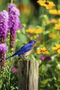 Eastern Bluebird Male on Fence Post Marion County, Illinois by Richard and Susan Day