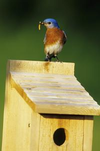 Eastern Bluebird Male with Mealworms at Nestbox Marion County, Illinois by Richard and Susan Day