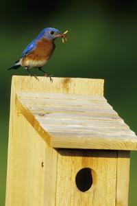Eastern Bluebird Male with Mealworms at Nestbox Marion, Il by Richard and Susan Day