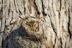 Eastern Screech-Owl Red Phase, in Tree Cavity, Marion County, Il by Richard and Susan Day
