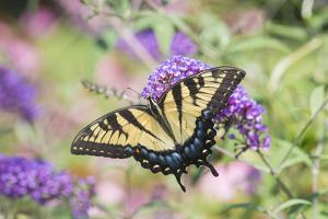 Eastern Tiger Swallowtail Butterfly on Butterfly Bush, Marion County, Il by Richard and Susan Day