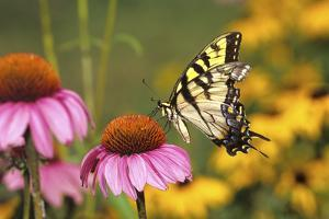 Eastern Tiger Swallowtail Butterfly on Purple Coneflower, Marion County, Illinois by Richard and Susan Day