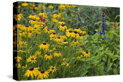 Flower Garden with Black-Eyed Susans and Black and Blue Salvias, Marion County, Il