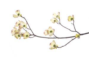 Flowering Dogwood Branch on White Background, Marion County, Illinois by Richard and Susan Day