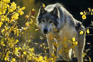 Gray Wolf in Fall, Montana by Richard and Susan Day