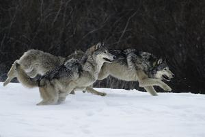 Gray Wolves Running in Snow in Winter, Montana by Richard and Susan Day