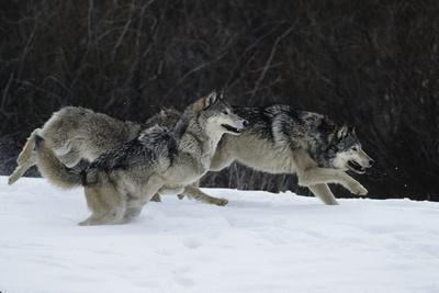 Gray Wolves Running in Snow in Winter, Montana