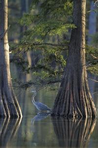 Great Blue Heron Fishing Near Cypress Trees, Horseshoe Lake State Park, Illinois by Richard and Susan Day