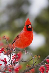 Northern Cardinal Male in Common Winterberry Bush in Winter, Marion County, Illinois by Richard and Susan Day