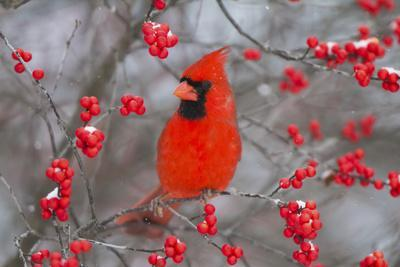 Northern Cardinal Male in Common Winterberry Bush in Winter, Marion County, Illinois