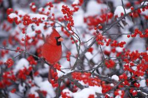 Northern Cardinal Male in Common Winterberry in Winter, Marion, Il by Richard and Susan Day