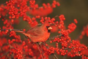 Northern Cardinal Male in Common Winterberry Marion, Il by Richard and Susan Day