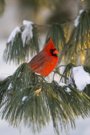 Northern Cardinal Male in White Pine Tree in Winter, Marion County, Illinois