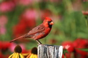 Northern Cardinal Male on Fence Post Near Flower Garden, Marion, Il by Richard and Susan Day