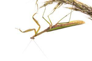 Praying Mantis on White Background, Marion County, Il by Richard and Susan Day