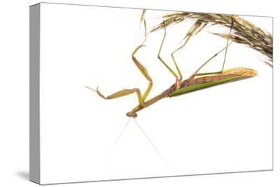 Praying Mantis on White Background, Marion County, Il