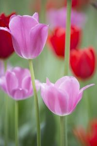 Red and Pink Tulips, Cantigny Park, Wheaton, Illinois by Richard and Susan Day