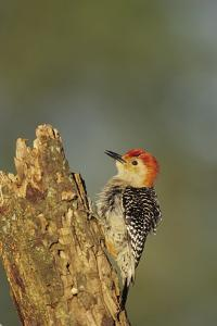 Red-Bellied Woodpecker Male Displaying on Dead Tree, Marion County, Illinois by Richard and Susan Day