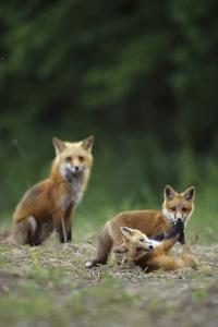 Red Fox Adults with Kit, Illinois by Richard and Susan Day