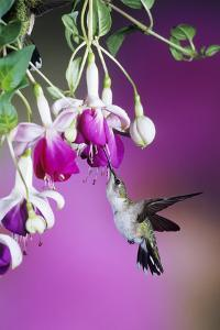 Ruby-Throated Hummingbird Female at Hybrid Fuchsia. Shelby County, Illinois by Richard and Susan Day