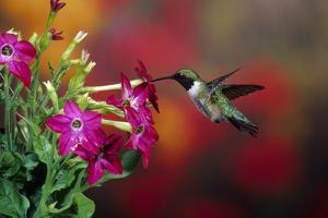 Ruby-Throated Hummingbird Male at Winged Tobacco, Illinois by Richard and Susan Day