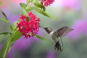 Ruby-Throated Hummingbird Male on Red Pentas, Marion County, Illinois by Richard and Susan Day