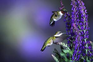 Ruby-Throated Hummingbirds Male and Female at 'Lubeca' Meadow Sage Salvia, Illinois by Richard and Susan Day