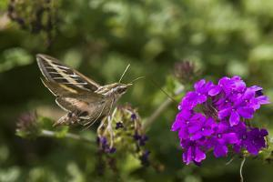 White-Lined Sphinx Moth on Homestead Purple Verbena, Marion County, Illinois by Richard and Susan Day