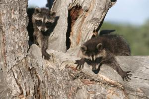 Young Raccoons in Tree, Montana by Richard and Susan Day