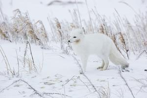 Arctic Fox in Winter Churchil Wildlife Management Area Churchill, Mb by Richard ans Susan Day