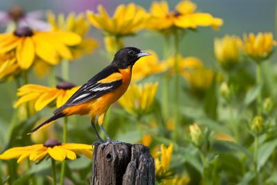 Baltimore Oriole on Post with Black-Eyed Susans, Marion, Illinois, Usa