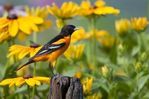 Baltimore Oriole on Post with Black-Eyed Susans, Marion, Illinois, Usa by Richard ans Susan Day