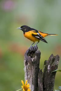 Baltimore Oriole on Wooden Fence in a Garden, Marion, Illinois, Usa by Richard ans Susan Day