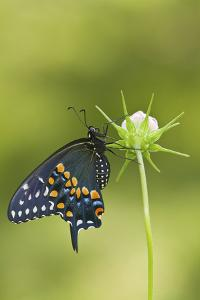Black Swallowtail Butterfly on Cosmos Sensation Mix Bud, Marion C., Il by Richard ans Susan Day