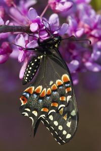 Black Swallowtail Newly Emerged on Eastern Redbud, Marion County, Il by Richard ans Susan Day