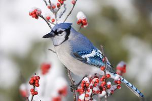 Blue Jay in Common Winterberry in Winter, Marion, Illinois, Usa by Richard ans Susan Day