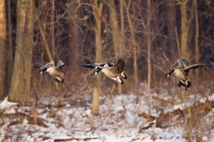 Canada Geese Landing on Frozen Lake, Marion, Illinois, Usa by Richard ans Susan Day