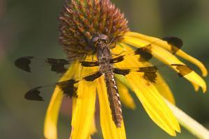 Common Whitetail Female on Yellow Coneflower in Garden Marion Co. Il by Richard ans Susan Day
