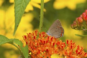 Coral Hairstreak Butterfly on Butterfly Milkweed, Marion Co., Il by Richard ans Susan Day