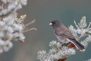 Dark-Eyed Junco in Spruce Tree in Winter Marion, Illinois, Usa by Richard ans Susan Day