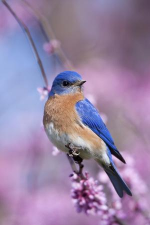 Eastern Bluebird Male in Eastern Redbud, Marion, Illinois, Usa
