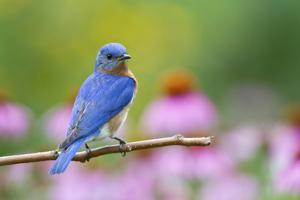 Eastern Bluebird Male on Perch, Marion, Illinois, Usa by Richard ans Susan Day