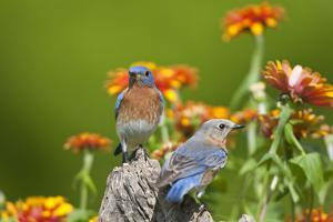 Eastern Bluebirds on Fence Post, Holmes, Mississippi, Usa by Richard ans Susan Day