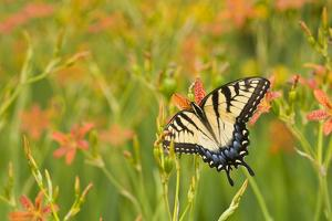 Eastern Tiger Swallowtail on Blackberry Lily, Marion Co. Il by Richard ans Susan Day