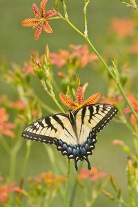 Eastern Tiger Swallowtail on Blackberry Lily, Marion, Illinois, Usa by Richard ans Susan Day