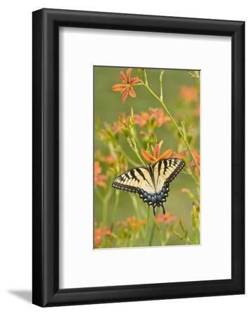 Eastern Tiger Swallowtail on Blackberry Lily, Marion, Illinois, Usa