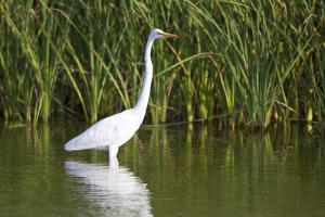 Great Egret, Leonabelle Turnbull Center, Port Aransas, Texas, Usa by Richard ans Susan Day